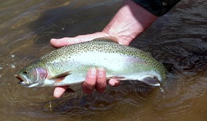 Stocking Trout